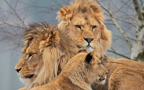 Picture lions, lioness, Trinity, Swedish family