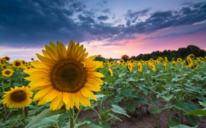Picture field, summer, the sky, sunset, clouds, the evening, Sunflowers