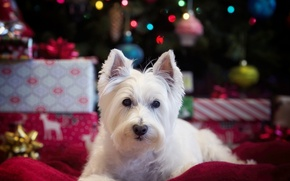 Picture look, dog, The West highland white Terrier