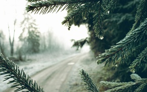 Picture road, needles, fog, spruce, morning
