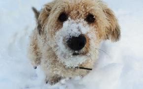 Picture snow, dog, KroSh