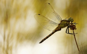 Picture macro, background, dragonfly, insect, stem, Wallpaper from lolita777
