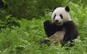 Picture greens, Panda, wand, sitting, eating