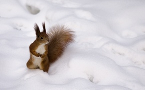 Picture winter, red, Protein, fluffy