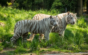 Picture cat, grass, pair, white tiger