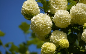 Picture macro, inflorescence, Kalina, white balls, Kalina buldenezh