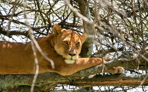 Picture cat, branches, tree, stay, lioness