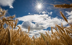 Picture field, summer, the sky, the sun, clouds, ears