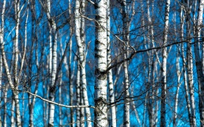 Picture nature, spring, birch