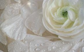 Picture drops, macro, petals, Ranunculus