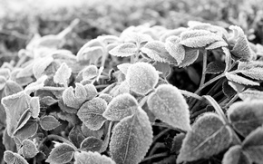 Picture frost, leaves, frost, Black and white