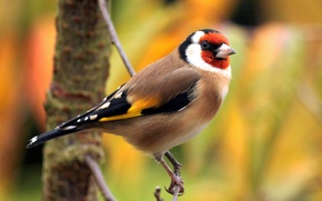 Picture bird, color, branch, feathers, beak, tail, goldfinch