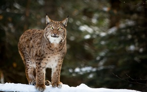 Picture winter, face, snow, predator, lynx, wild cat, look up