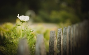 Picture flower, fence, bokeh, buds
