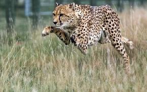 Picture jump, predator, Cheetah