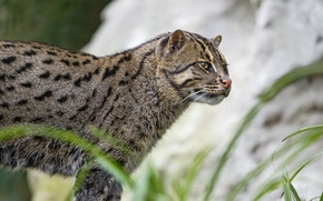 Picture cat, cat, ©Tambako The Jaguar, fishing cat, kot Rybolov, angler