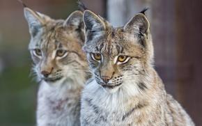 Picture cat, face, pair, lynx, ©Tambako The Jaguar