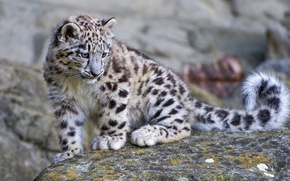 Picture stone, IRBIS, snow leopard, cub