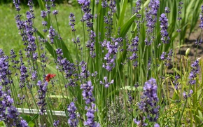Picture flowers, nature, lavender