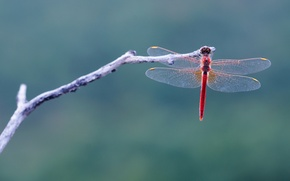 Picture macro, sprig, background, dragonfly, Wallpaper from lolita777