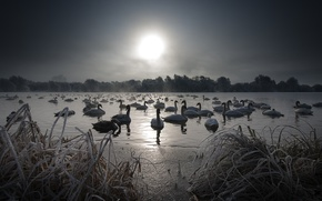 Picture night, lake, swans