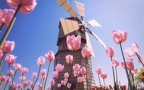 Picture field, summer, the sky, flowers, pink, blue, mill, tulips