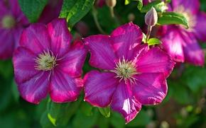 Picture clematis, macro, petals, clematis