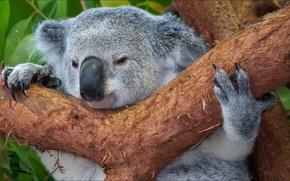 Picture animals, nature, Koala