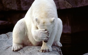 Picture white, bear, closed, paw