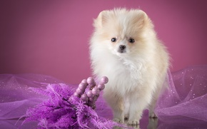 Wallpaper puppy, Spitz, white, veil, decor