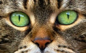 Picture eyes, cat, macro, portrait