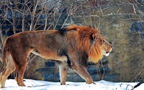 Picture winter, snow, predator, Leo, beast, zoo, big cat, mammal