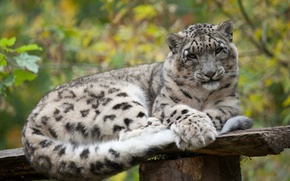 Picture cat, stay, IRBIS, snow leopard