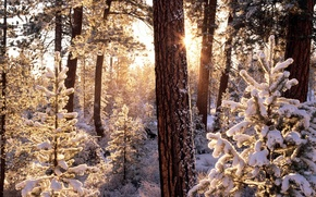 Wallpaper winter, frost, forest, the sun, rays, snow, trees, ate