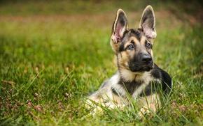 Picture dog, puppy, ears, shepherd