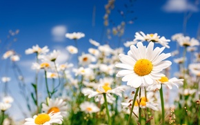 Picture field, flowers, chamomile, chamomile, field flowers