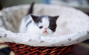 Picture cat, kitty, small, pers, muzzle, basket, extreme