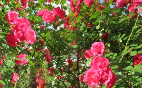 Picture rose, blooms, light