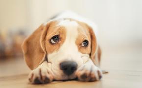 Picture Dog, sad, eyes, animal, nose, muzzle