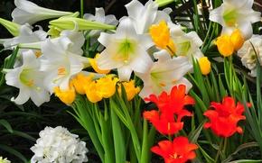 Picture Tulip, Lily, petals, garden, flowerbed