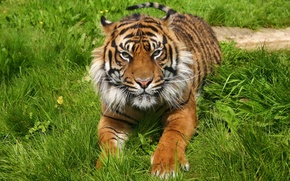 Picture grass, face, tiger, stay, predator, paws