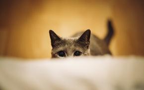 Picture eyes, cat, ambush, ears, students, hidden, secretive