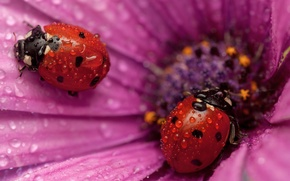 Picture flower, macro, ladybug, petals, insect