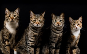 Picture cats, the dark background, cats, four, grey, striped