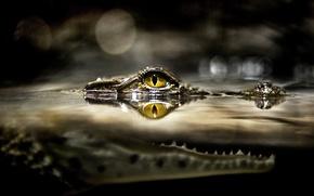 Wallpaper mouth, animals, crocodile, river