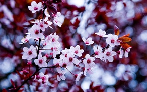 Picture flower, macro, cherry, microsemi