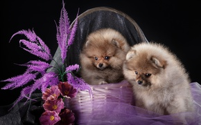 Wallpaper puppies, Spitz, Duo, basket, flowers