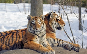 Picture snow, trees, branches, rock, tigers, rock, trees, snow, branches, tigers