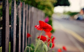 Picture flower, flowers, red, nature, background, widescreen, Wallpaper, the fence, Mac, fence, the fence, wallpaper, widescreen, …