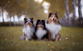 Picture autumn, dogs, grass, leaves, Park, foliage, portrait, puppies, friendship, three, friends, cuties, three, nature, students, …